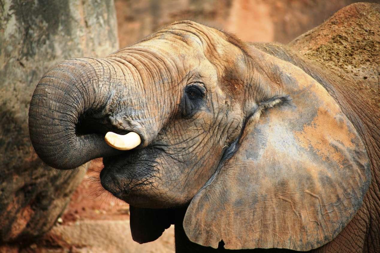 Eléphant Botswana