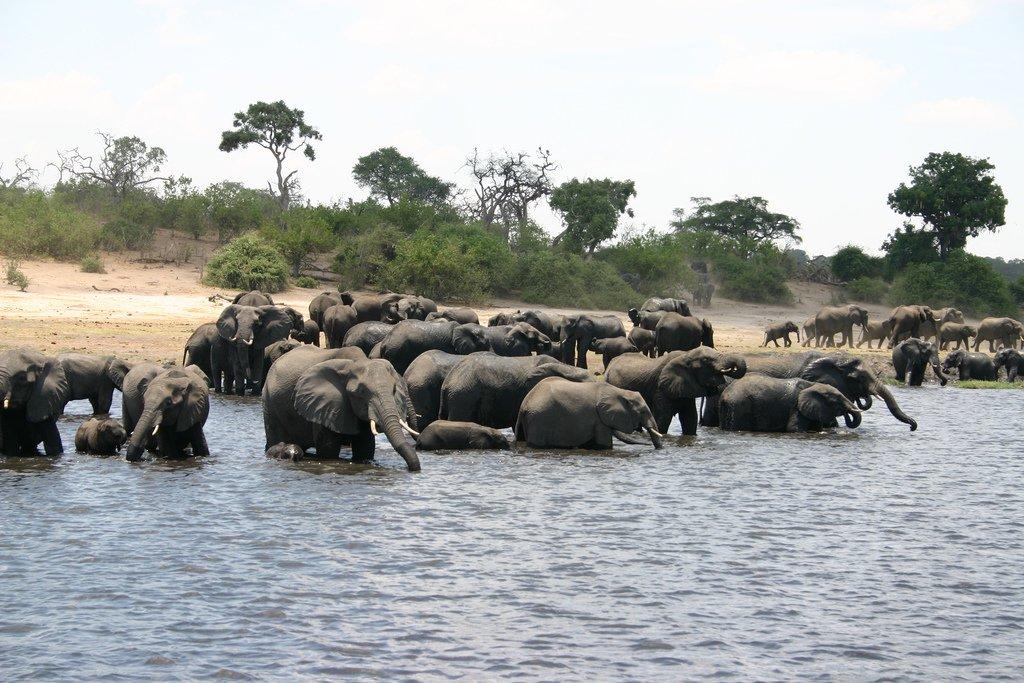 elephants au botswana
