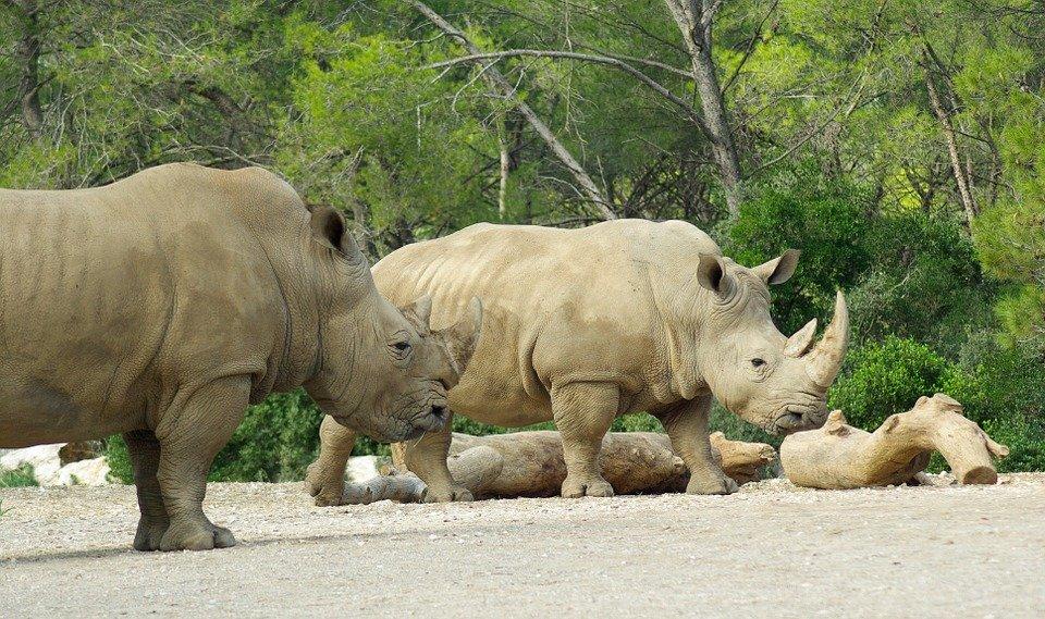 rhinoceros serowe