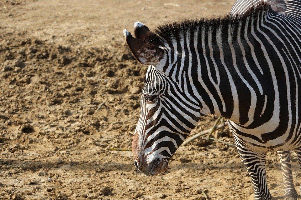 zebre Mozambique