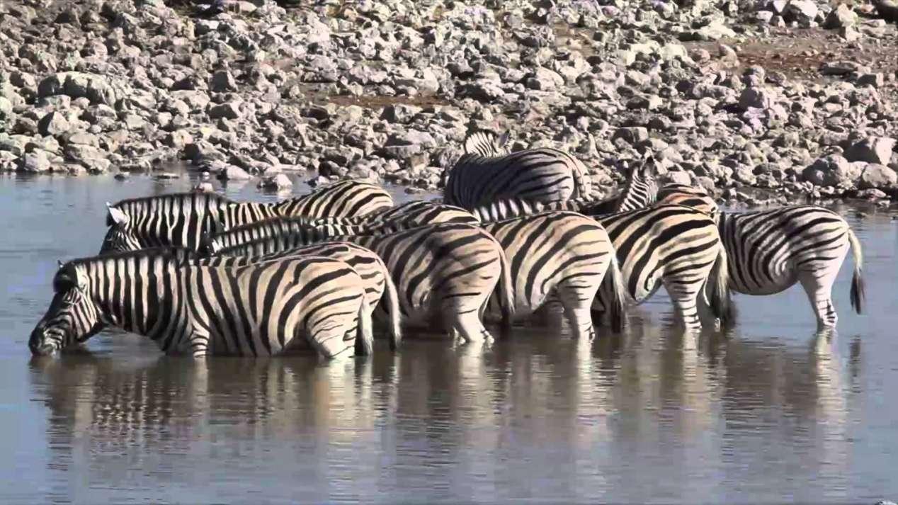 Zèbres Etosha Namibie