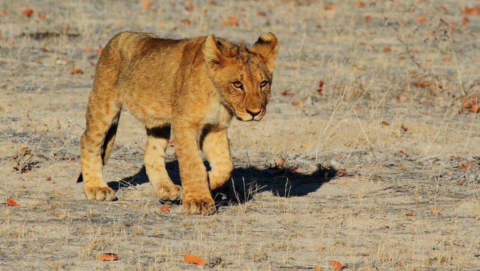 lion-etosha-namibie