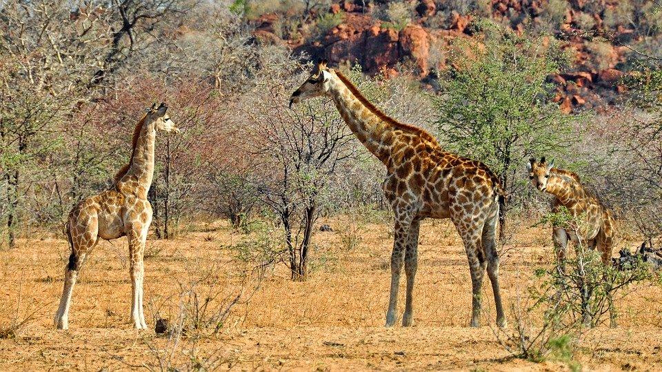 girafes kaokoland