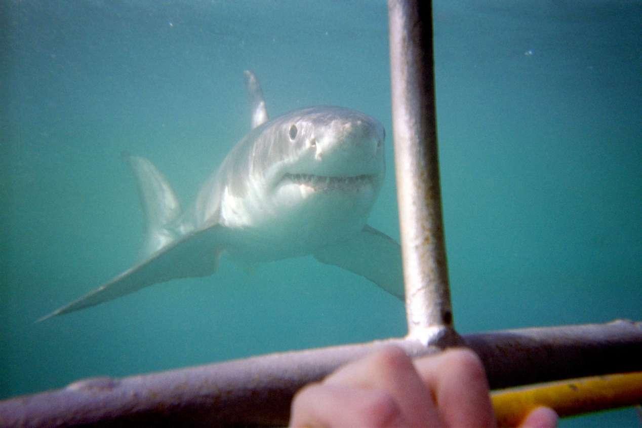 plongee requins blancs afrique du sud