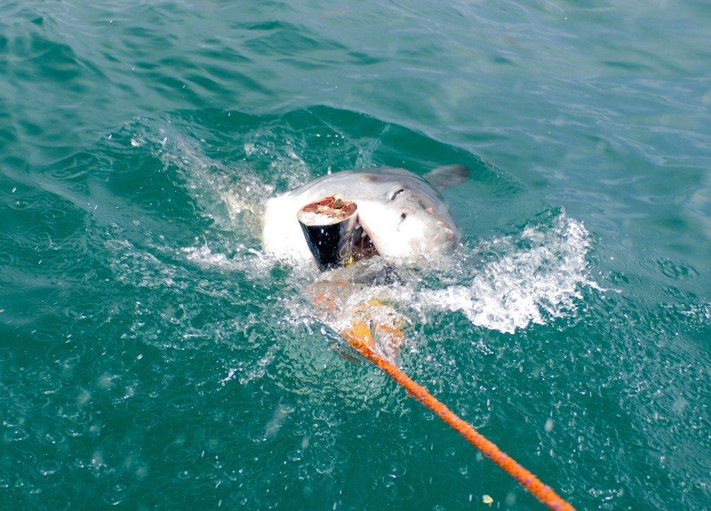 requins blancs gansbaai