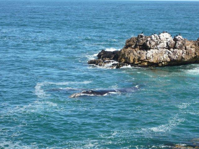 baleines en afrique du sud