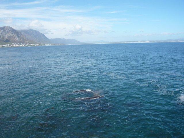 baleines hermanus