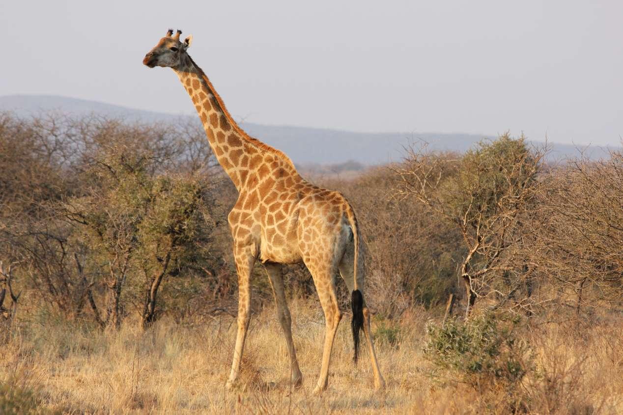 madikwe safari afrique du sud