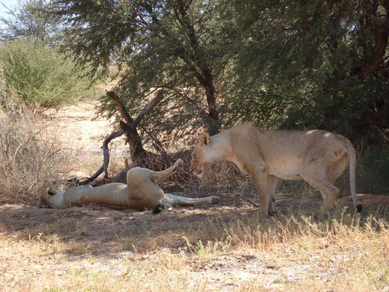 parc du kalahari lions