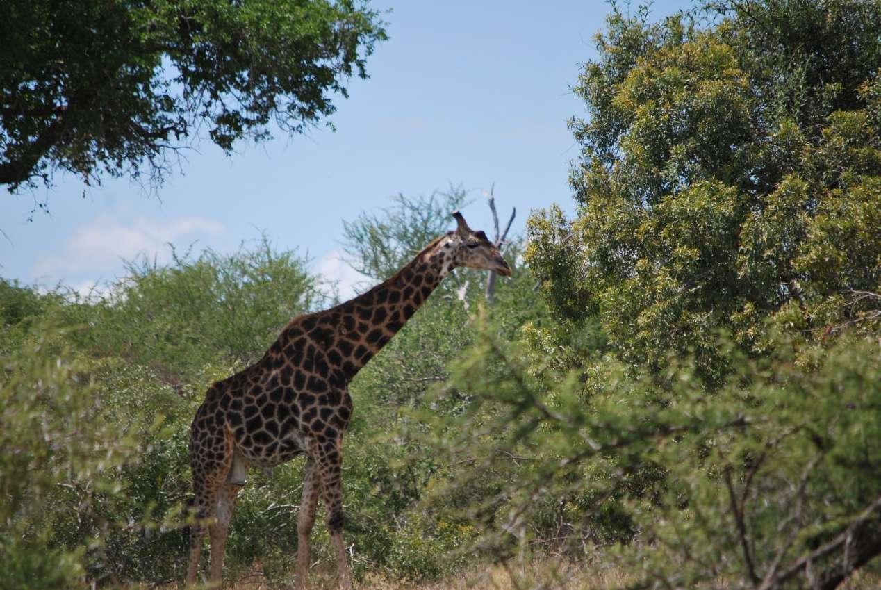 girafe-kruger