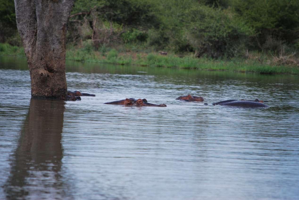 hippos afrique du sud