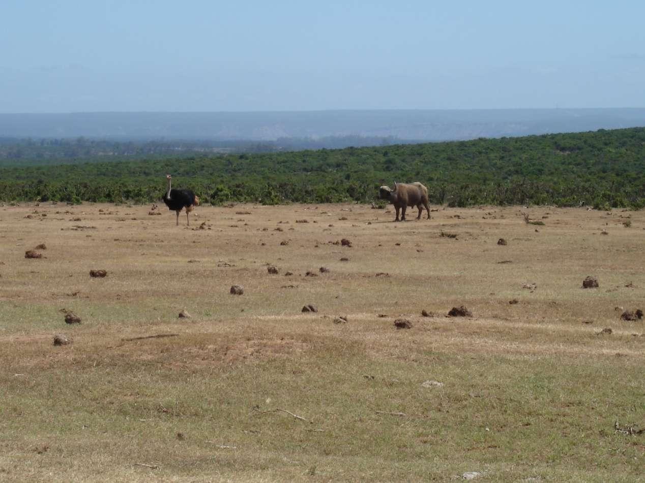buffles ado afrique du sud