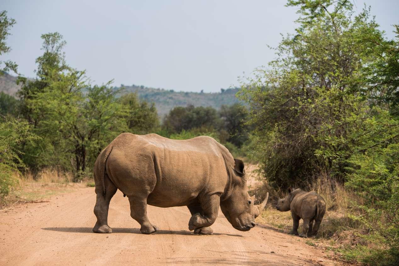 rhino au pilanesberg