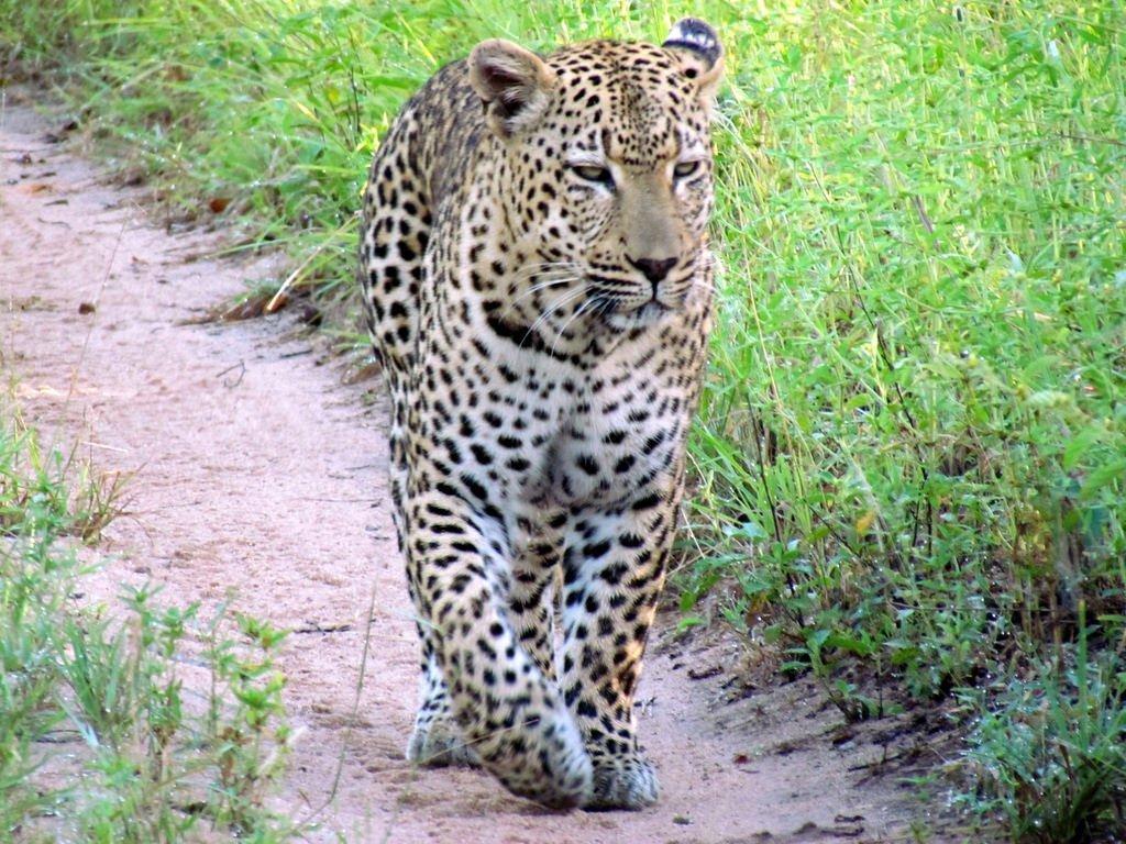 leopard au sabi sands