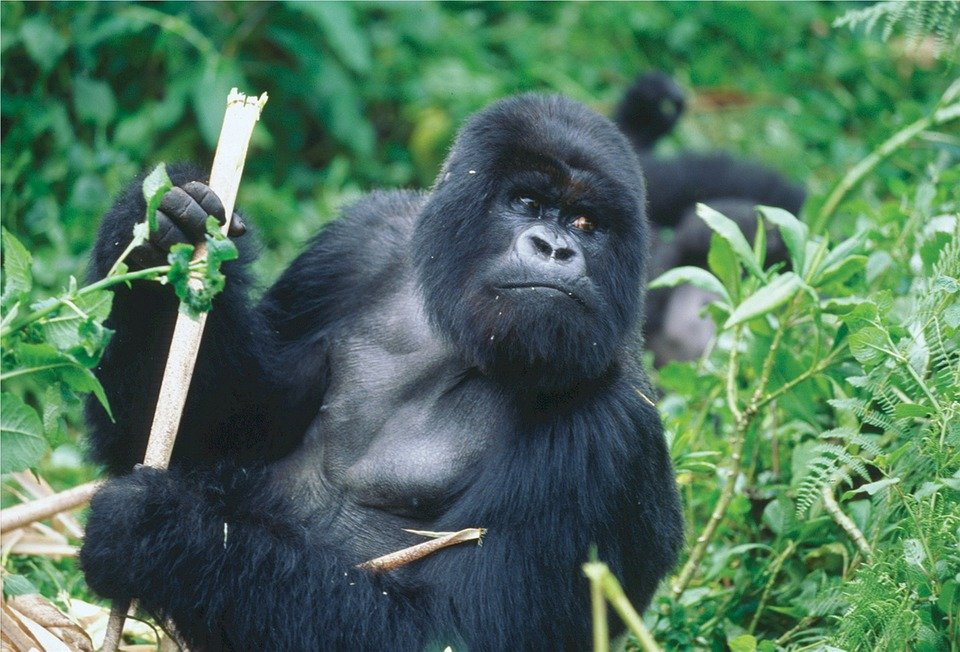 gorilles rwanda
