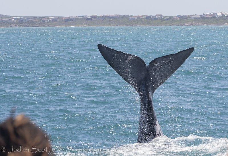 baleine hermanus afrique du sud