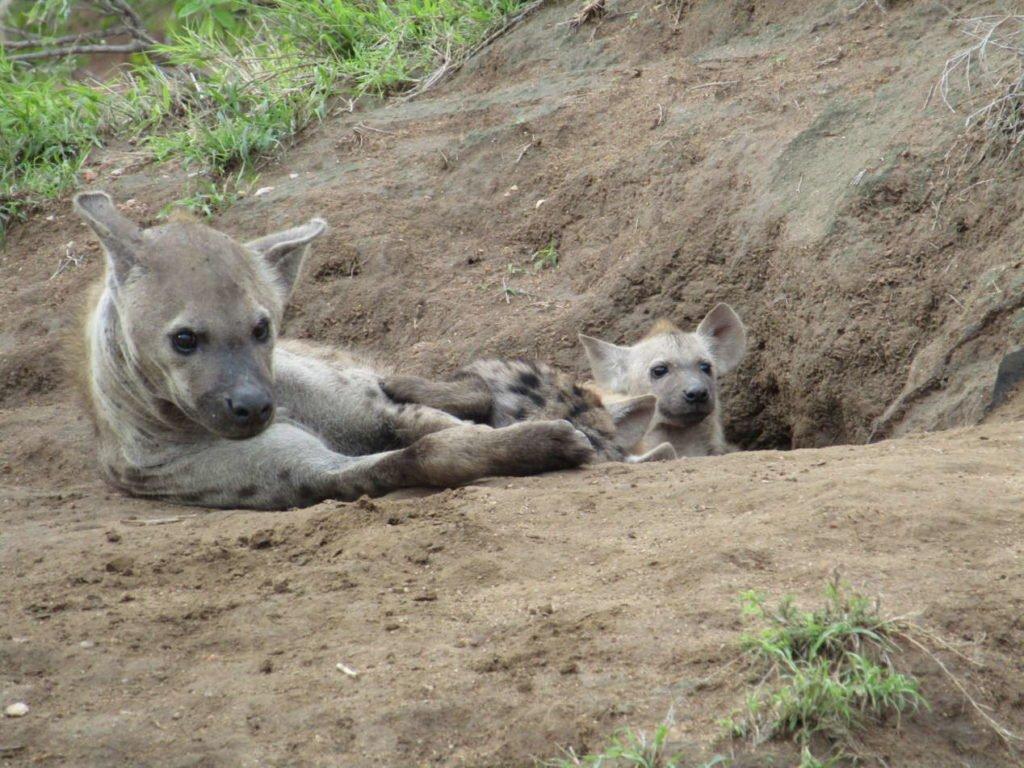 hyènes kruger