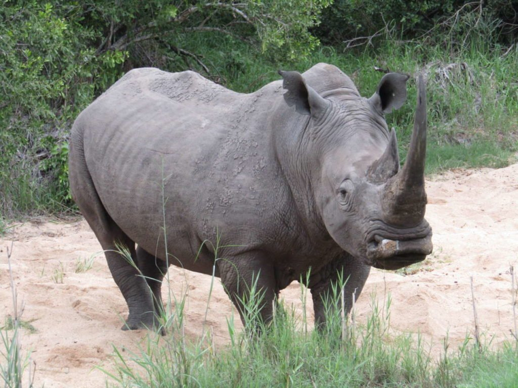 rhinocéros hluhluwe