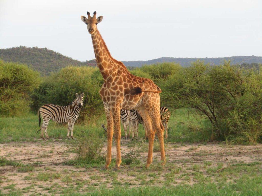 girafe zèbre lions safari afrique du sud