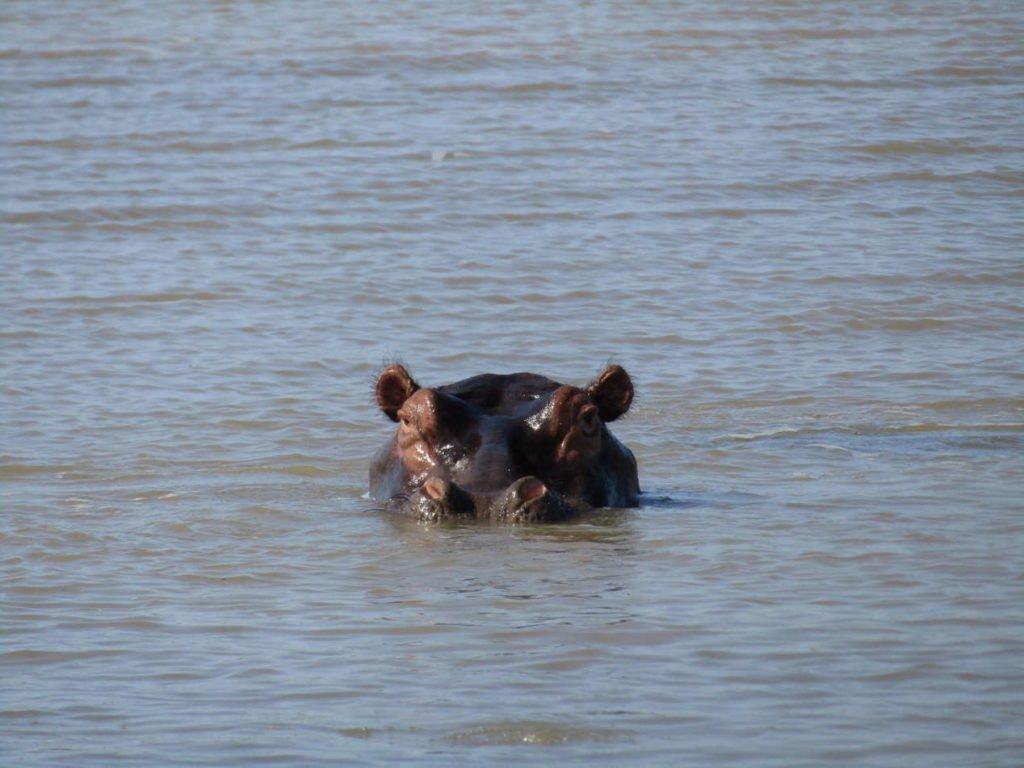 hippopotames safari afrique du sud