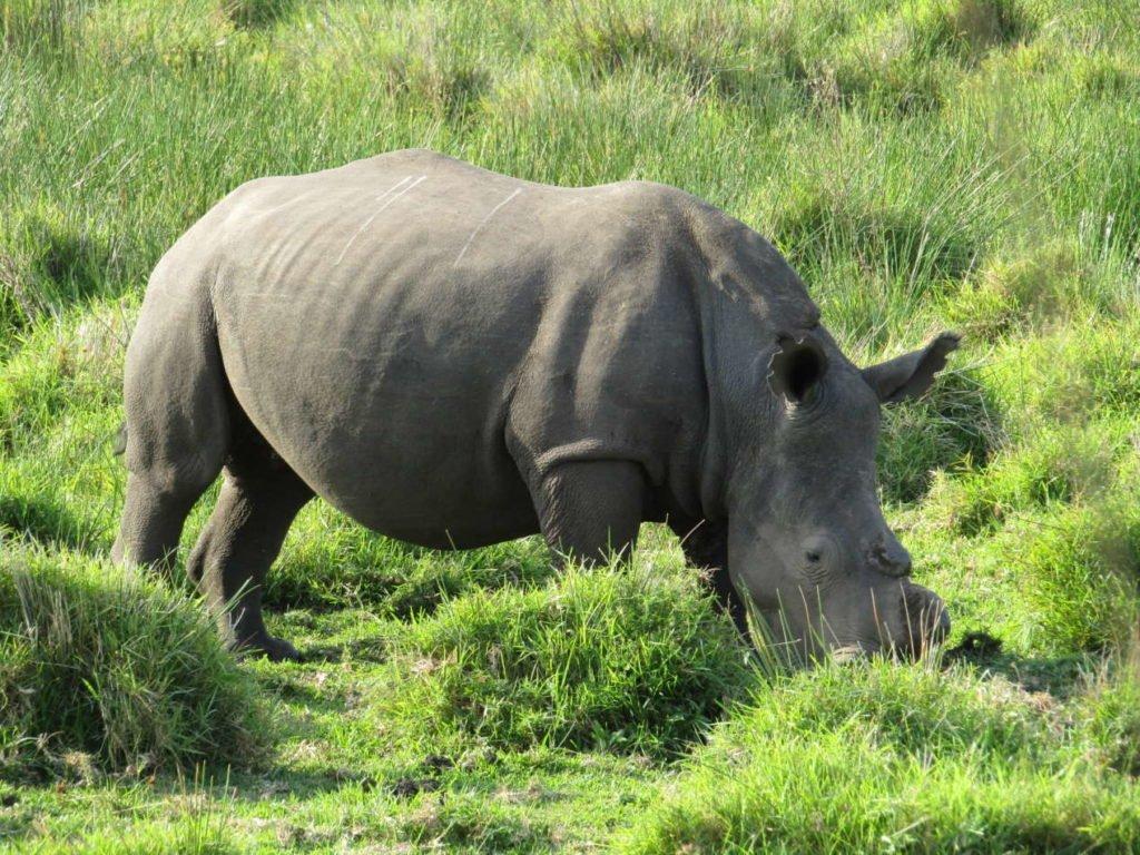 rhinocéros santa lucia