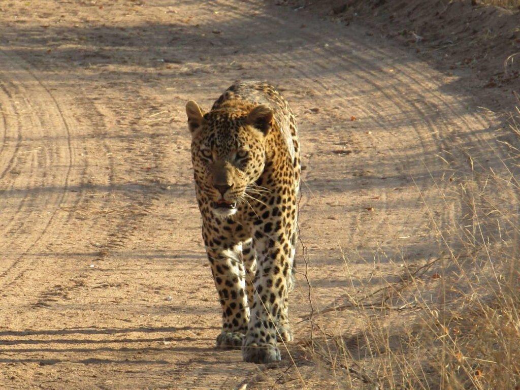 léopard safari afrique du sud
