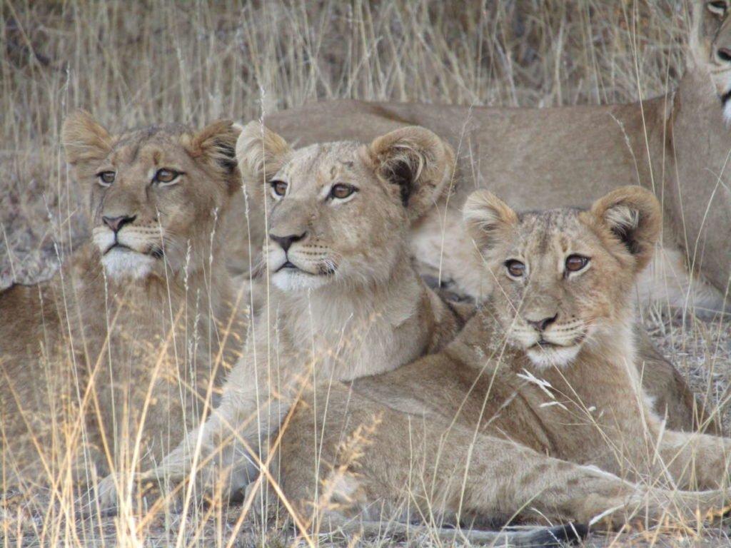 lions safari afrique du sud