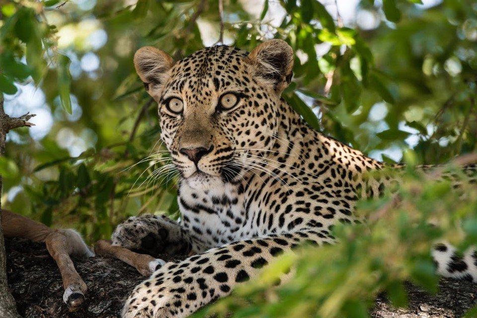léopard sabi sand