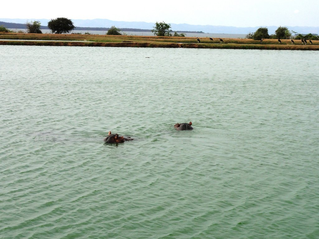 Hippopotames Zimbabwe