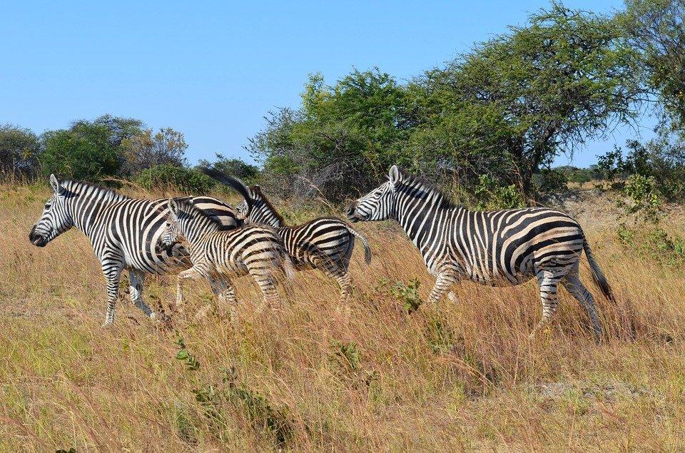 Zèbres Zimbabwe