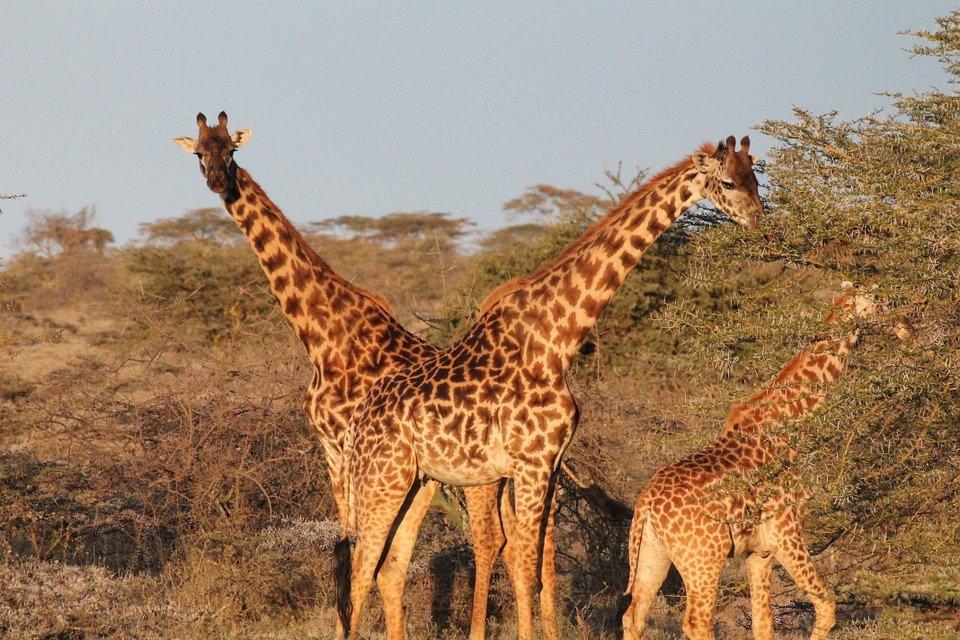 girafes matobo park